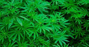 Marihuana, lo bueno y lo malo