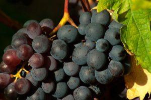 vine-1676756_640