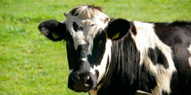 Diferencias entre la leche convencional y la ecológica